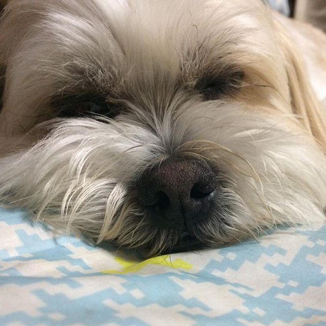 ☆ 皆さん おやすみなさい💤 ☆ ☆ #犬#愛犬#シーズー#マルチーズ #ミックス犬#わんこ#いぬバカ部#shitzu#maltese#shitzusofInstagram#malteseofInstagram#mydogiscutest#ilovemydog#dogsofInstagram#doglover#doglife#instadog#instagood#love#lovedogs#cutedog#follow#pawsforjolie#❤️迷子犬の掲示板応援団#病気のお友達に元気玉