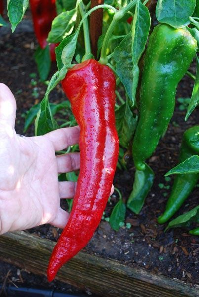 "How to have much more peppers from your pepper plants: ""sprinkle the plant with Epsom salts (1 teaspoon dissolved in a sprinkle bottle of warm water (about 4 cups). That offers the pepper plant an increase of magnesium that is necessary at blooming period to make fruit. Spray them again Ten days later and in a few weeks, and you will own much more peppers than you can consume."""
