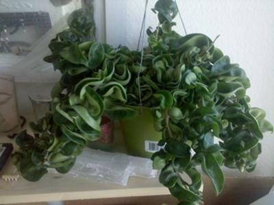 Hoya carnosa 'Krinkle Kurl'/Hoya carnosa 'Compacta',   Hindu Rope Plant