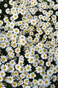 flores margaridas plano de fundo