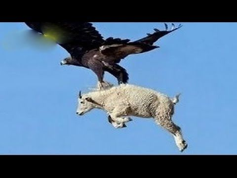 Lo más increíble ataques de animales salvajes - Águilas atacan los lobos, ciervos - YouTube