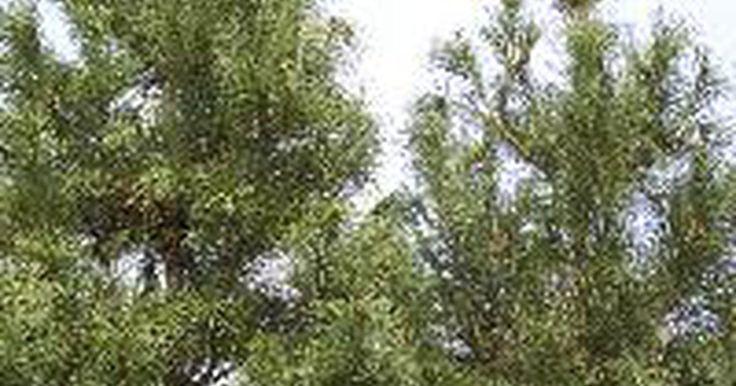 Árboles de pino y cedro de crecimiento rápido. El pino y el cedro son dos tipos populares de árboles de hoja perenne. Desafortunadamente, los árboles de hoja perenne no son conocidos por ser de crecimiento rápido. Los pinos caen en el género pinus y tienen agujas que crecen en manojos. Los árboles de cedro se dividen en dos grupos, verdaderos o falsos. Los cedros verdaderos caen dentro de los ...