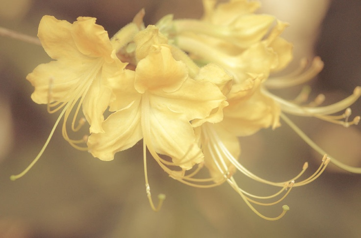 I so want to incorporate these honeysuckle flowers into a tattoo!!!!  June birth flower