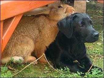 Friends. (Black Labrador Retriever Dog with Bunny Rabbit)
