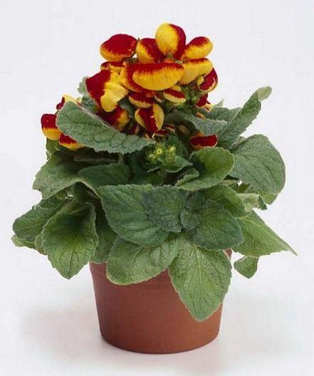 Период цветения кальцеолярии приходится на апрель-май и продолжается 3-5 недель