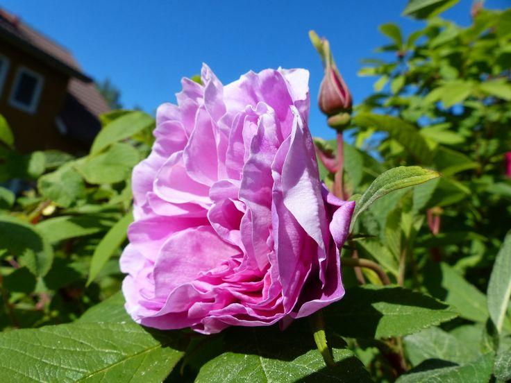 """Kesän eka ruusun kukka """"Teresia Bugnet"""""""