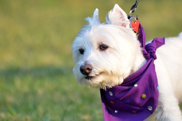 Purple is definitely a good color on this pup! Did you know the Greater Dallas, Collin County and Denton County walks are all dog-friendly? That's right your friendly, leashed furry friend can also join the walk.