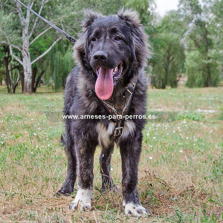Pechera de cuero perro Pastor caucásico - > 141,53 €