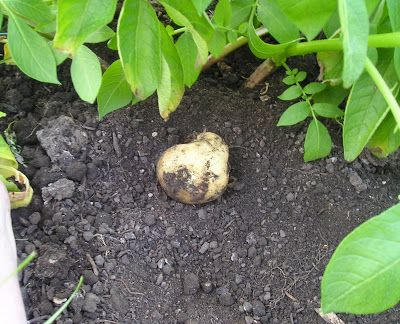 How to grow your own potatoes starting with seed potatoes and how to harvest.
