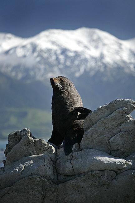 Stills Photo Tours, David Still - New Zealand, Sunbathing Seal