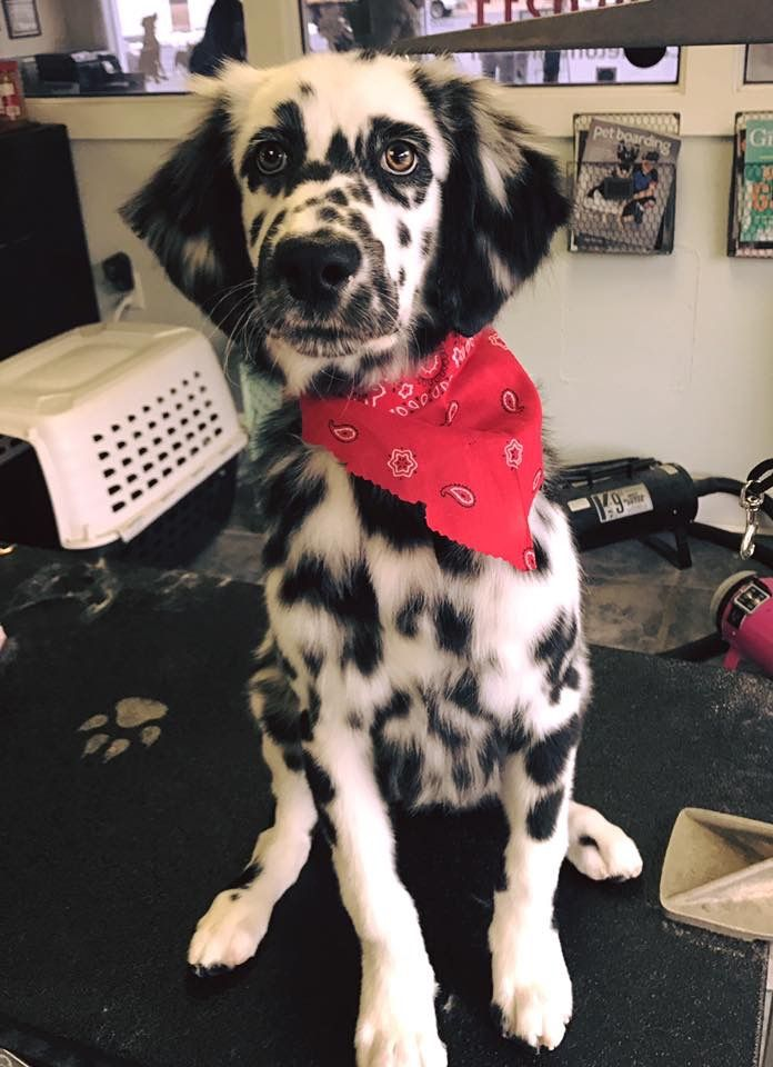 Long Haired Dalmatian Puppy Pretty Dogs Cute Dogs Dalmation Puppy