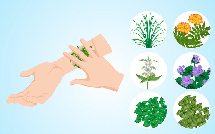 Usar plantas para ahuyentar y mantener alejados a los mosquitos de tu casa y de tu piel es una alternativa natural y segura del uso de productos hechos por el hombre que contienen químicos. Hay una gran cantidad de plantas que puedes ...