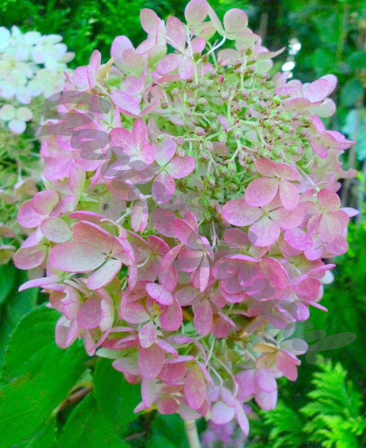 Hydrangea paniculata - hortensja bukietowa