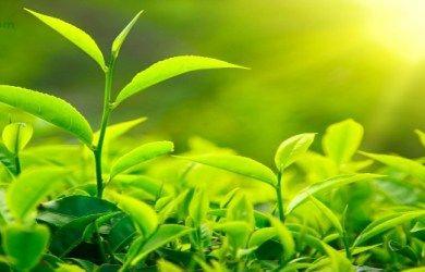 Top five benefits of drinking green tea. #green_tea #Health_tips #weight_lose