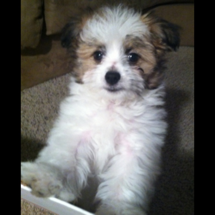 17 Best images about Papitese Puppies on Pinterest | This ...