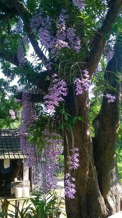 Orquídeas em árvore