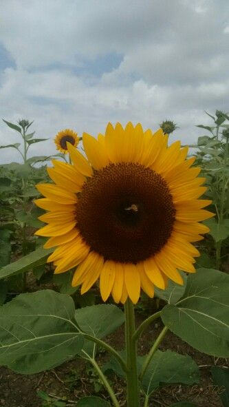 #Sunflower #Guanica #PuertoRico #PR #Photography #BYJQG