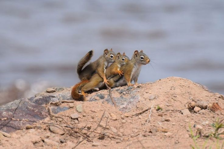Cute family of squirrels pictured on a family outing by Yvette Richard for the Comedy Wildlife Photo Awards 2016, Canada, June, 2015