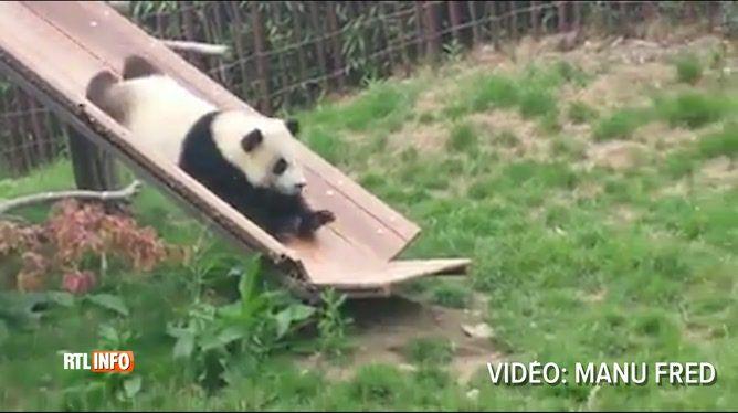 Un visiteur du parc Pairi Daiza a dégainé son smartphone au bon moment: celui où Tian Bao, l'un des pandas du parc animalier, s'est offert ...