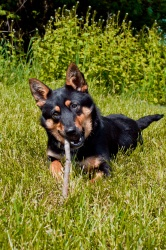 #164-13 is an adoptable Australian Kelpie Dog in Zanesville, OH. #164-13 loves to play and go for long walks. She also loves to be outside where she she lay in the sun and chew  on a bone or a toy.  S...