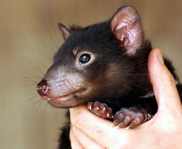Save the Tasmanian Devil Appeal (photo). Article for Think #Tasmania. #TassieDevil
