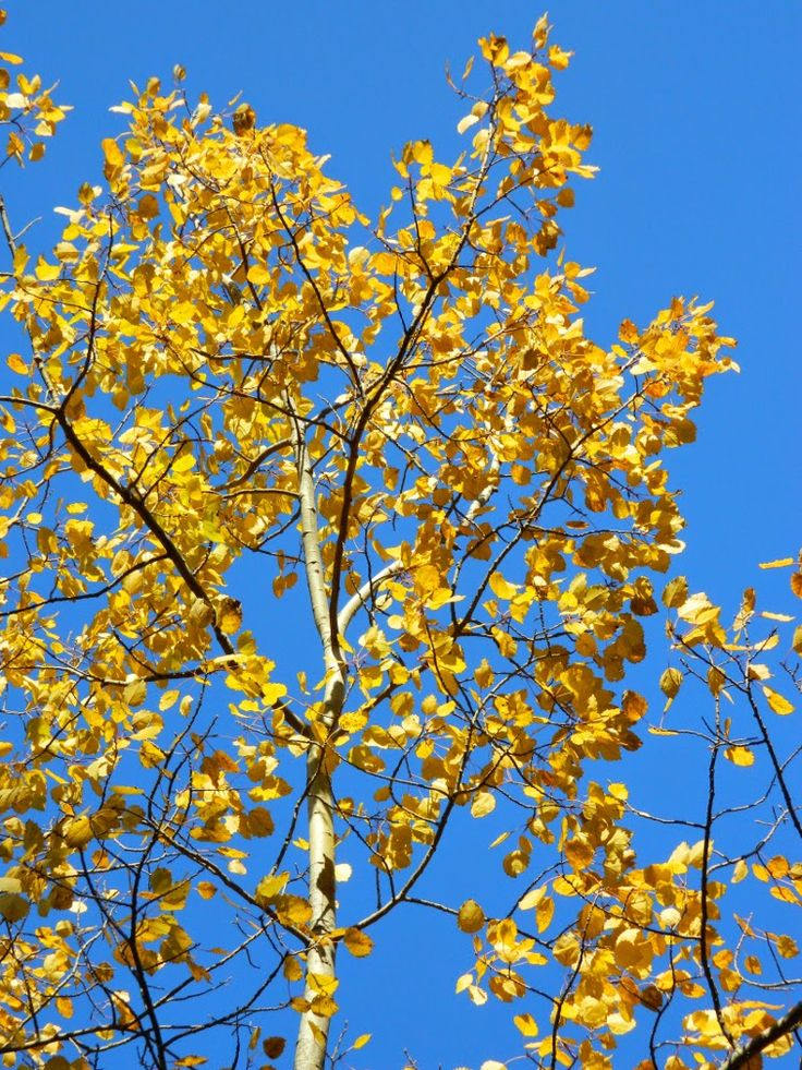 Populus tremuloides (Trembling poplar) fall foliage at Taylor Creek Park by garden muses: not another Toronto gardening blog.