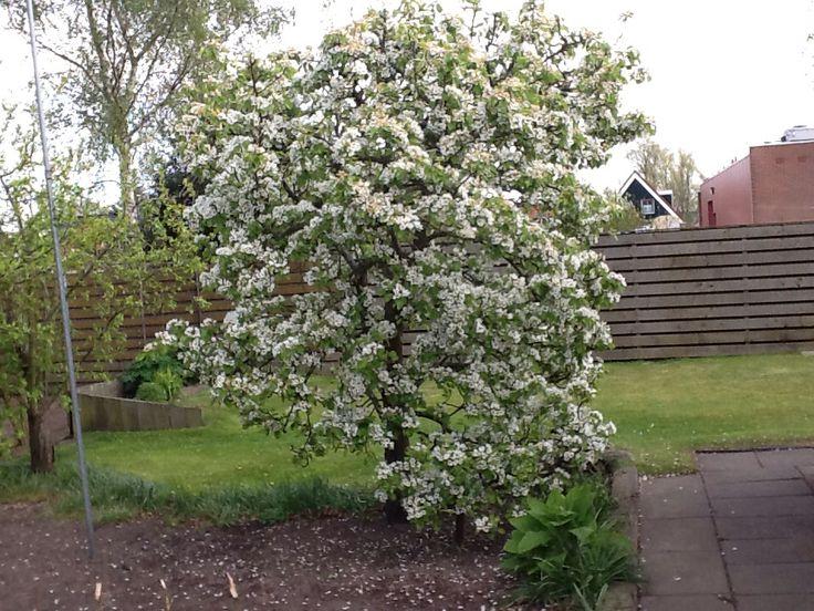 De perenboom van de buren voorjaar 2014
