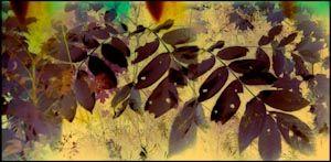 Les feuilles flamboyantes