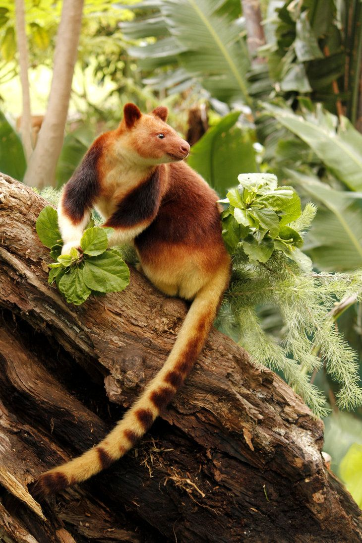 Goodfellow's Tree Kangaroo is native to New Guinea, and is Endangered.