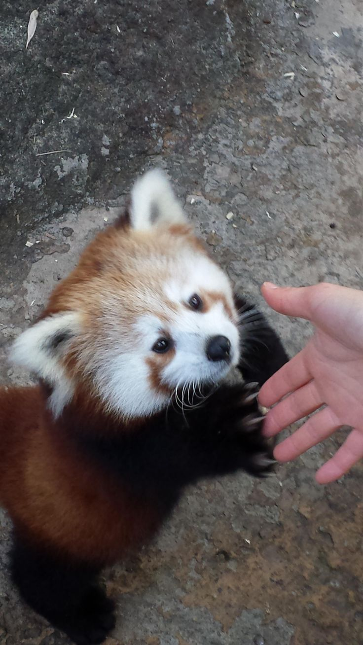 My girlfriend got to shake hands with a red panda at the zoo! - Imgur