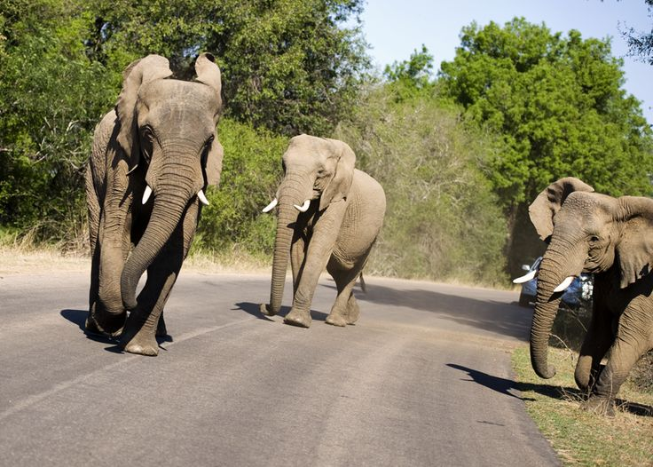 Elephant fight at the Kruger National Reserve in South Africa