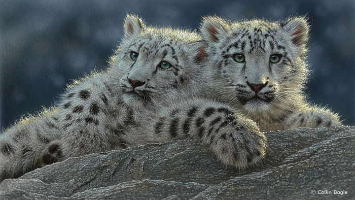 Wildlife Paintings, Wildlife Art Prints by Artist Collin Bogle Snow leopard cubs