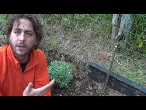 cultivar lavanda