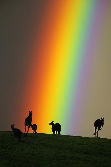 Kangaroos and Rainbow, Yarra Valley, Australia | Ern Mainka.