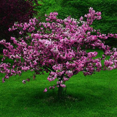Top 10 trees for small spaces ornamental plants red Small flowering trees