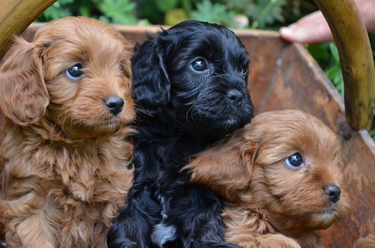 Toy Cavoodles ) PUPPIES Pinterest
