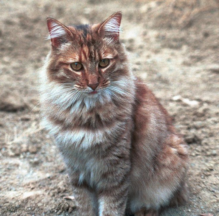 what is a tawny cat