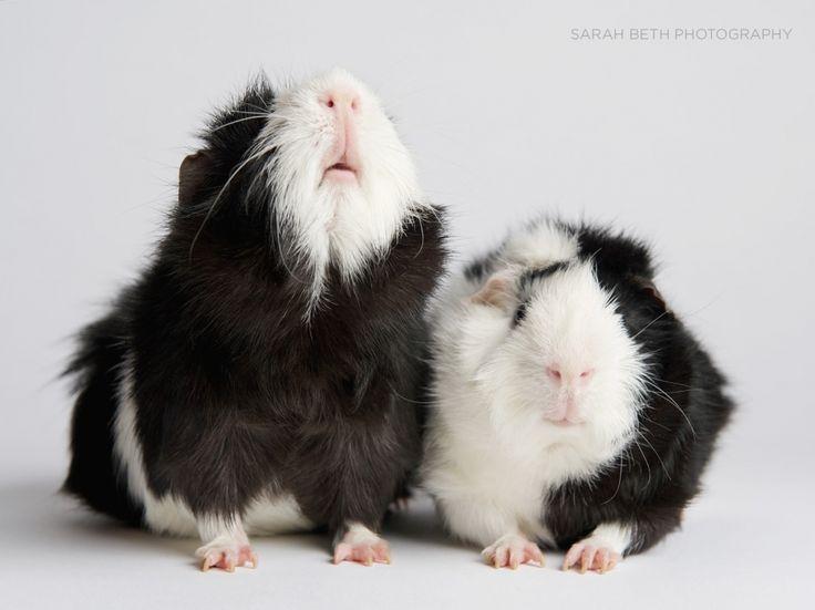 black and white guinea pig litter mates