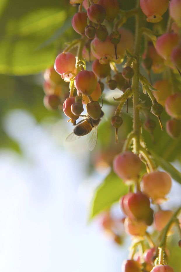 Bee and arbutus in the garden