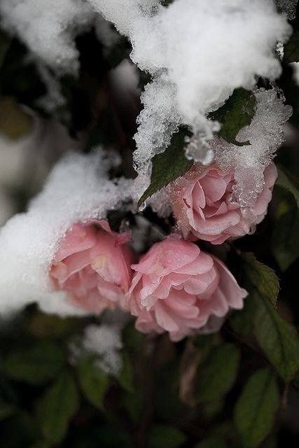 Even my mothers roses were frozen.