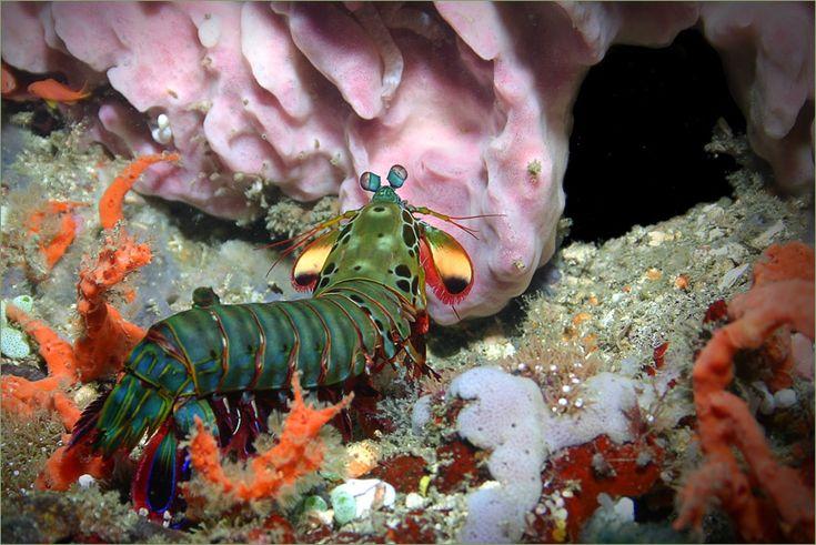 Креветка-богомол (Mantis shrimp)