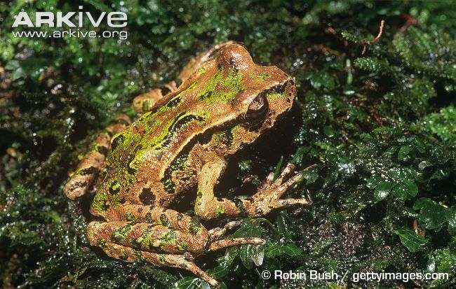 Archey's frog, dorsal view