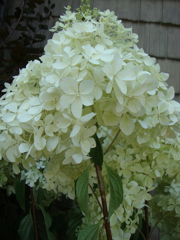 17 best images about hydrangea on pinterest gardens snowball and longwood gardens. Black Bedroom Furniture Sets. Home Design Ideas