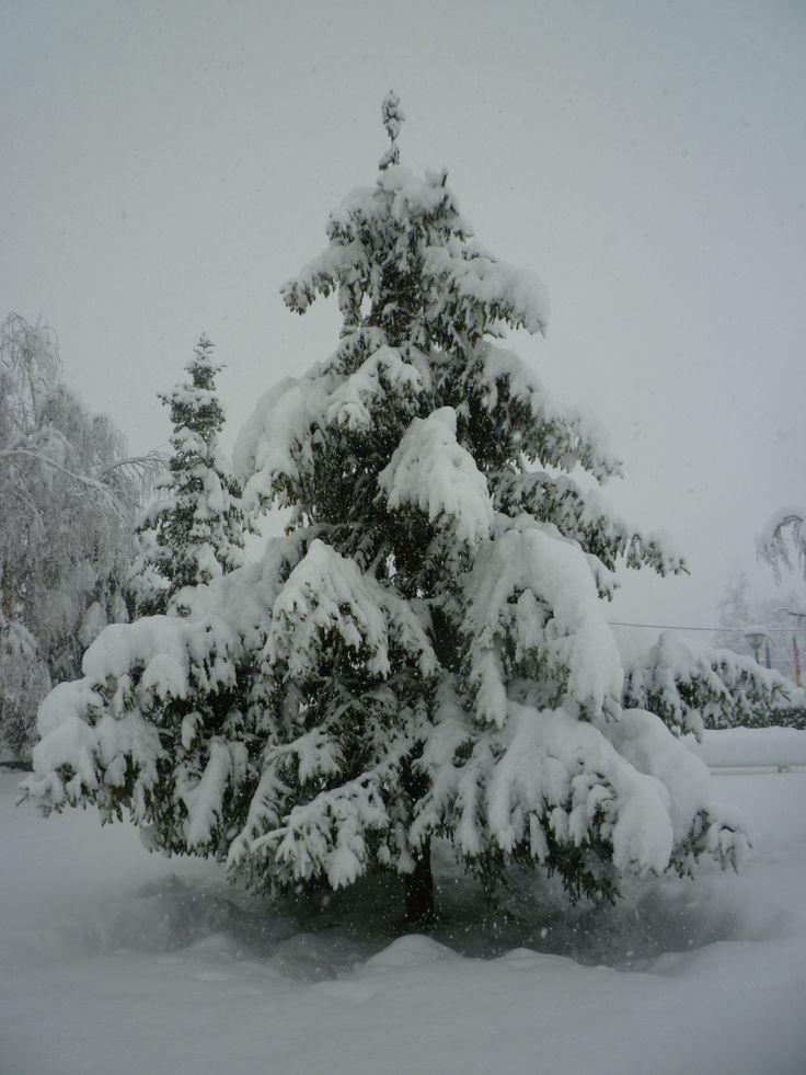 I nostri pini dopo la fitta nevicata di Gennaio 2012!!!