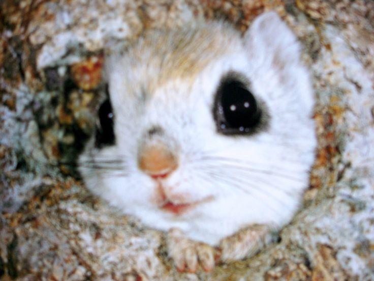 Ezo Momonga Curious Japanese Dwarf Flying Squirrel