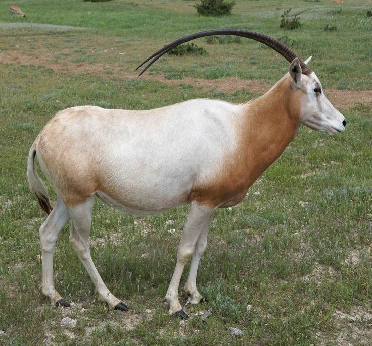 Scimitar Horned Oryx   Fossil Rim Wildlife Center...Glen ...
