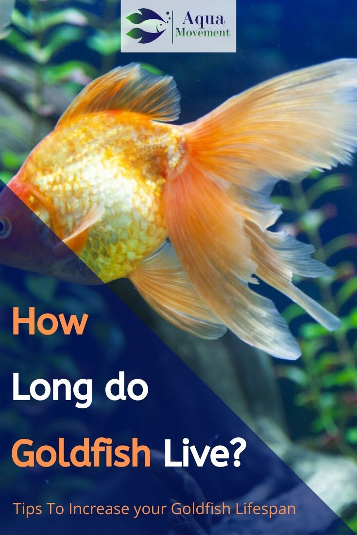 How Long Do Goldfish Live We Ll Help Clear The Confusion About The Goldfish Lifespan And Discuss A Bunch Of Scenarios That Goldfish Aqua Fish Tank