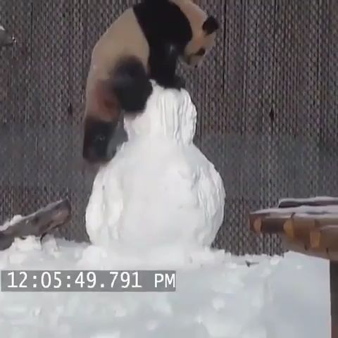 Pandas has to be the goofiest animals – Lustig