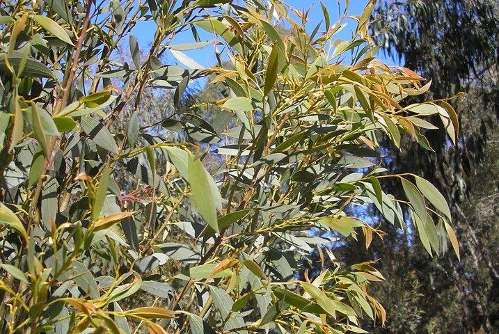 Eucalyptus Little Star --- For more Australian native plants visit austraflora.com