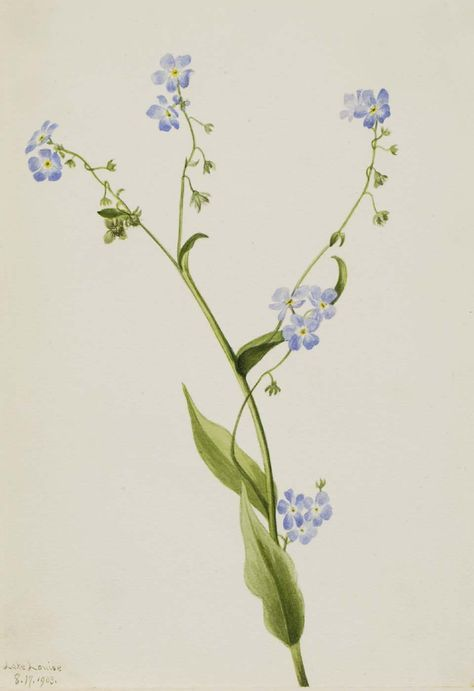 Mary Vaux Walcott, 1860-1940. Bur-forget-me-not (Lappula diffusa), 1903, watercolor on paper, 10 x 6 7/8 in. (25.4 x 17.6 cm). Smithsonian American Art Museum.